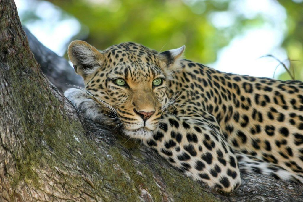 leopard, šri lanka, utočište, zaštićena vrsta